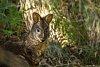 -tasmanian-pademelon-thylogale-billardierii-01.jpg