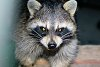 -raccoon-resized-misc-391-copy-2-.jpg