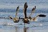 -geese1.jpg