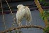 -yellow-billed-egret.jpg