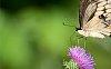 -summer-swallowtail.jpg