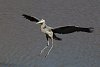 -great-blue-heron-crop.jpg