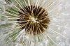 -macro_dandelion_4_pentax_50mm_f1.4_rr.jpg
