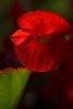-red-begonia.jpg