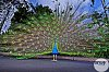 -peacock.jpg