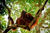 -orangutan.jpg