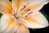 -peachlily-01-0713.jpg