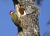 -brazilian-woodpecker.jpg