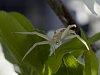 -backyard-crab-spider.jpg