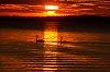 -swans.jpg