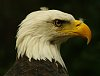 -imgp7986-bald-eagle-resized.jpg