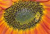 -090703-bee-sunflower-01b.jpg