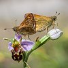 -large-skippers-mating-bee-orchid.jpg