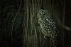 -barred-owl.jpg