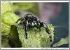 -095p1637_phidippusaudax_spider_fredit.jpg