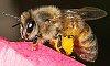 -honey-bee.jpg