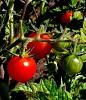 -tomato-crop-006a.jpg
