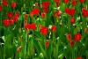 -tulips.jpg