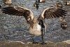 -goose-landing.jpg