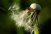 -dandelion-gone-wind.jpg