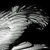 -_igp7823mswn.wingfeathers5x5bw.jpg