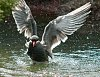 -imgp8036-artic-tern-landing-small-file.jpg