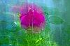 -rose.sm.jpg