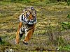 -speeding-tiger.jpg