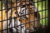 -eye-tiger.jpg