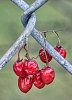 -chain-link-berries.jpg