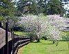 -cherry-blossom-macon-3-21-11-426.jpg