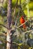 -watercolor-cardinal.jpg