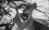 -imgp6270_lion_pride-3_close-up_savuti_bw_resized.jpg