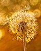-dandelion1.jpg