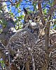-greathorned-owl-youngster.jpg
