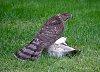 -hawk-pigeon.jpg