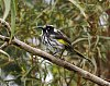 -new-holland-honey-eater-margaret-river.jpg