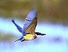 -kingfisher-flight.jpg