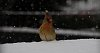 -female-cardinal.jpg