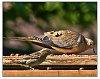 -dove-sparrow-.jpg
