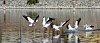 -pelican-water-landing-salton-sea.jpg