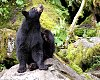 -black-bear-scratching.jpg