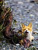 -fox-kit.jpg