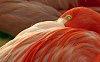 -c-aaaa-flamingo-evans-tommy.jpg