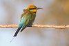 -bee-eater-1.jpg