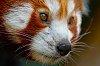 -fire_fox.jpg