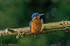 -female-common-kingfisher.jpg