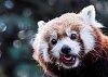 -red-panda-1150.jpg