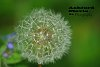 -dandelion-puff-pentaxforum-copy.jpg