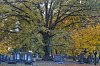 -cemetery-oak.jpg